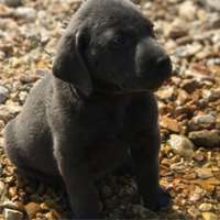 Charcoal Male Lab