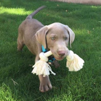 Silver Lab Male Puppy