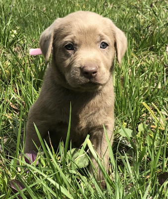 DOGWOOD SILVER LABS : Silver and Charcoal Labrador Breeder