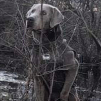 Male Adult Retriever