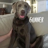 Gunner, Male Adult Retriever