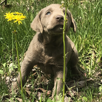 Silver Female Lab