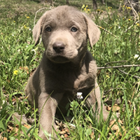 Silver Lab In Baby Blue Collar