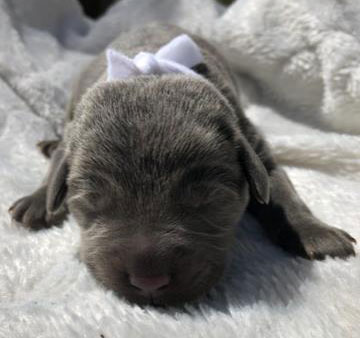 Female Puppy with White Ribbon
